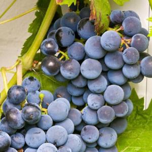 Vitis vinifera 'Regent' - Vrtnarstvo Breskvar