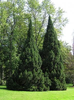 Vrtnarstvo Breskvar - Abies Alba-Pyramidalis