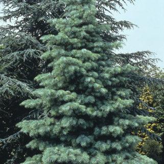 Vrtnarstvo Breskvar - Abies Concolor Argentea