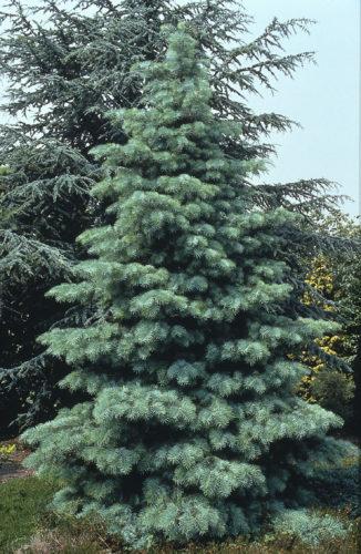 Vrtnarstvo Breskvar - Abies Concolor Candicans