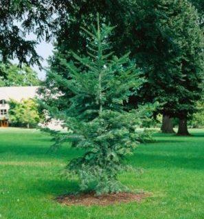 Vrtnarstvo Breskvar - Abies Firma Bedgebury