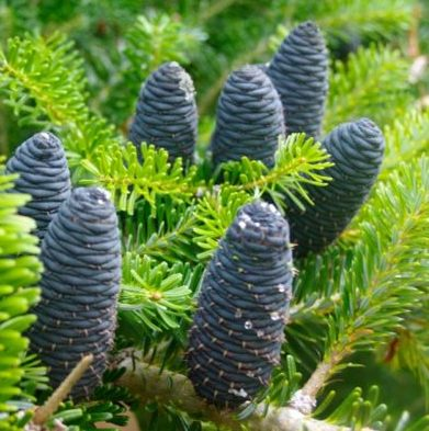 Vrtnarstvo Breskvar - Abies Koreana Blue Cone