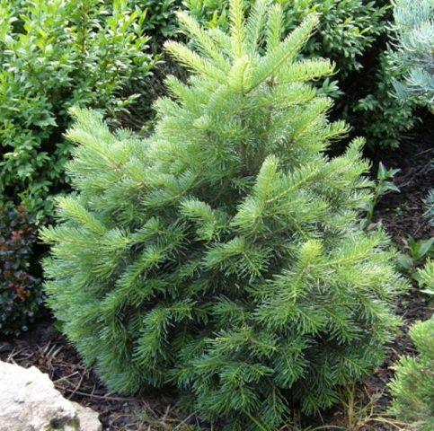 Vrtnarstvo Breskvar - Abies Lasiocarpa Green Globe