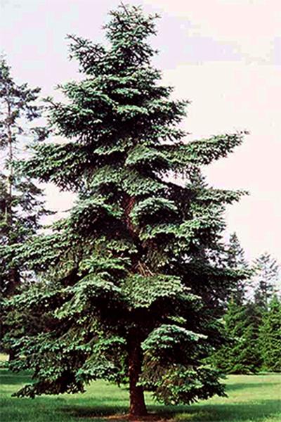 Vrtnarstvo Breskvar - Abies Numidica