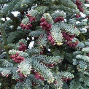 Vrtnarstvo Breskvar - Abies Procera Glauca