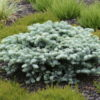 Vrtnarstvo Breskvar - Abies Procera Procumbensq