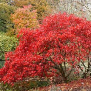 Vrtnarstvo Breskvar - Acer Chitose yama