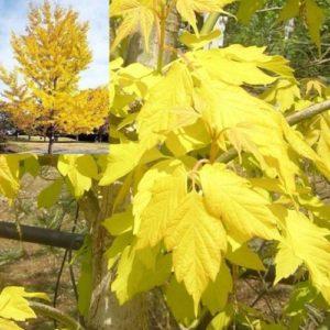 Vrtnarstvo Breskvar - Acer negundo Kelly's Gold