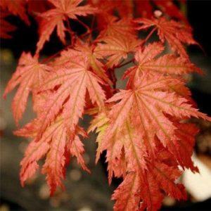 Vrtnarstvo Breskvar - Acer palmatum Ariadne