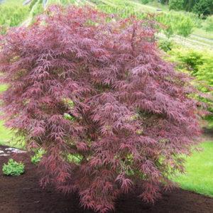 Vrtnarstvo Breskvar - Acer palmatum Atrolineare