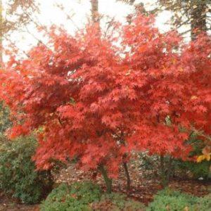 Vrtnarstvo Breskvar - Acer palmatum Aureum
