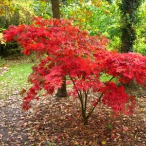 Vrtnarstvo Breskvar - Acer palmatum Autumn Red