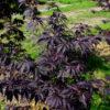 Vrtnarstvo Breskvar - Acer palmatum Black Lace