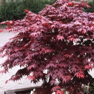 Vrtnarstvo Breskvar - Acer palmatum Bloodgood