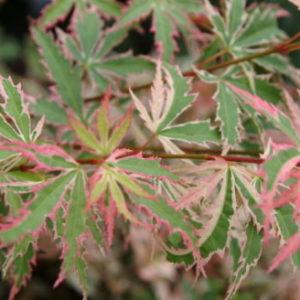 Vrtnarstvo Breskvar - Acer palmatum Butterfly