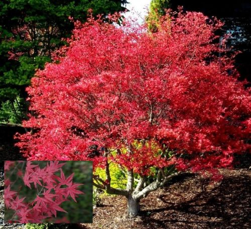 Vrtnarstvo Breskvar - Acer palmatum Corallinum