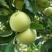Prunus Malus Beličnik- Vrtnarstvo Breskvar
