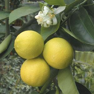 Vrtnarstvo Breskvar - Citrus limettioides Palestina