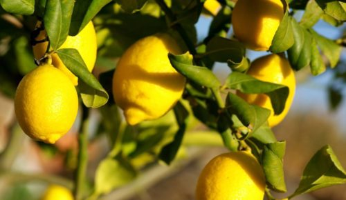 Vrtnarstvo Breskvar - Citrus limon