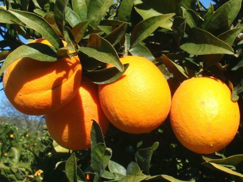 Vrtnarstvo Breskvar - Citrus sinensis