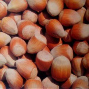Corylus avellan 'Istrska dolgoplodna' - Vrtnarstvo Breskvar
