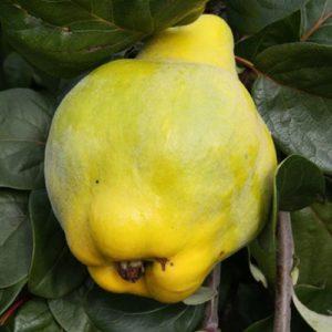 Vrtnarstvo Breskvar - Cydonia oblonga Portugal