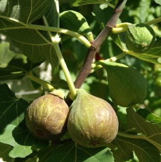 Vrtnarstvo Breskvar - Ficus carica Contessina