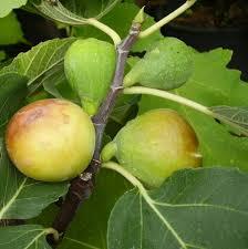 Vrtnarstvo Breskvar - Ficus Carica Goldfeige