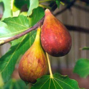 Vrtnarstvo Breskvar - Ficus Carica Nordland Bergfeige