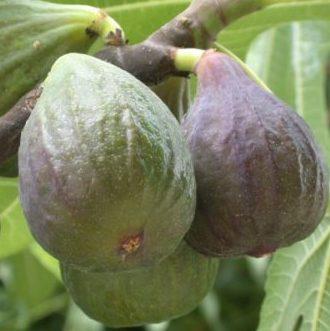Vrtnarstvo Breskvar - Ficus Carica Violetta