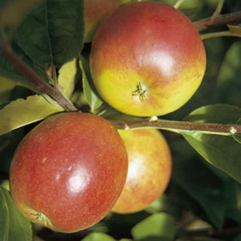 Vrtnarstvo Breskvar - Malus domestica Ecolette