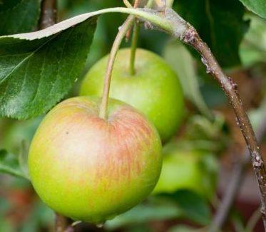 Vrtnarstvo Breskvar - Malus domestica Falstaff