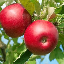 Vrtnarstvo Breskvar - Malus domestica Fuji Rosso