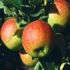 Vrtnarstvo Breskvar - Malus domestica James Grieve
