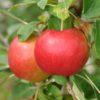 Vrtnarstvo Breskvar - Malus domestica Julyred