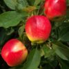 Vrtnarstvo Breskvar - Malus domestica Sunrise