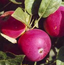 Vrtnarstvo Breskvar - Malus domestica Vista Bella