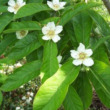 Vrtnarstvo Breskvar - Mespilus germanica Holland