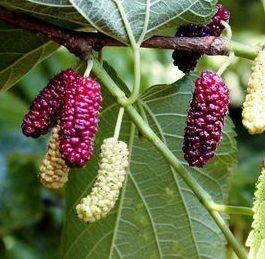 Vrtnarstvo Breskvar - Morus rubra Rossa