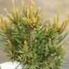Vrtnarstvo Breskvar - Pinus Edulis Fancy Nancy