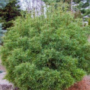 Vrtnarstvo Breskvar - Pinus Strobus Wiggles