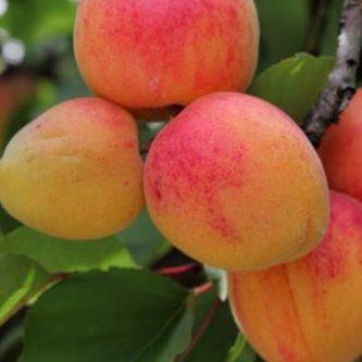 Vrtnarstvo Breskvar - Prunus armeniaca Caldesi