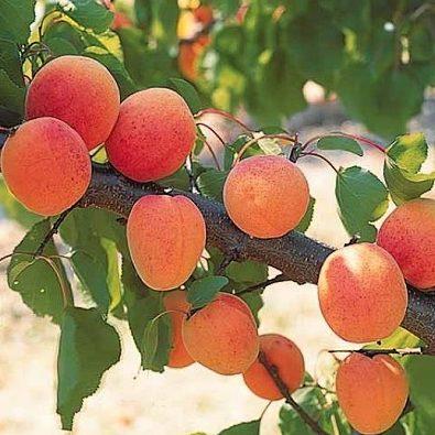 Vrtnarstvo Breskvar - Prunus armeniaca Garden Aprigold