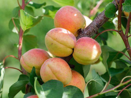 Vrtnarstvo Breskvar - Prunus armeniaca Goldrich