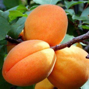 Vrtnarstvo Breskvar - Prunus armeniaca Harcot