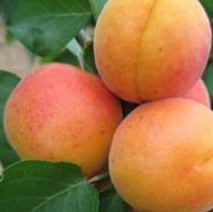 Vrtnarstvo Breskvar - Prunus armeniaca Hargrand