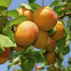 Vrtnarstvo Breskvar - Prunus armeniaca Luizet