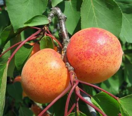 Vrtnarstvo Breskvar - Prunus armeniaca Ogrska