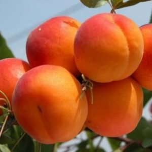 Vrtnarstvo Breskvar - Prunus armeniaca Paviot