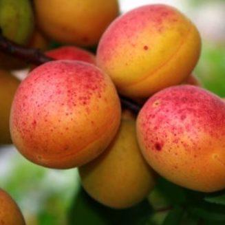 Vrtnarstvo Breskvar - Prunus armeniaca Reale D'imola